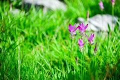 Тюльпан Сиама Стоковые Изображения RF
