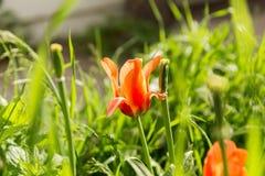 Тюльпан увядать оранжевый Стоковая Фотография RF