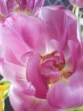 Тюльпан цветения Стоковые Изображения