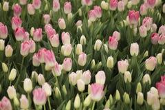Тюльпан цветет пинк Стоковая Фотография