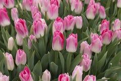 Тюльпан цветет пинк Стоковые Изображения