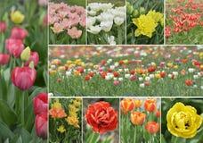 Тюльпан цветет собрание Стоковое Изображение