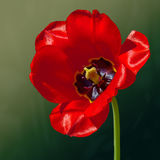 Тюльпан цветка весной Стоковые Изображения RF
