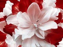 Тюльпан цветка красно-белый флористический коллаж playnig света цветка предпосылки Конец-вверх Стоковые Изображения