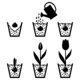 Тюльпан цикла роста в баке Стоковое Фото