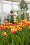 Тюльпан Стоковое Изображение RF