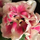 Тюльпан Стоковая Фотография