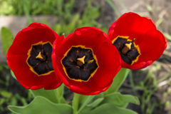 Тюльпан Стоковое фото RF