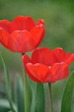 Тюльпан Стоковая Фотография RF