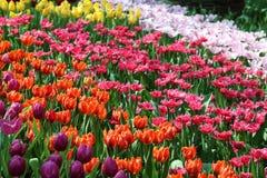 Тюльпан 18 стоковые фото