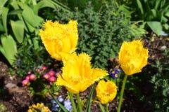 Тюльпан Crispa в саде Стоковое Изображение RF