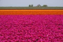 Тюльпан fields художественное произведение стоковые фотографии rf