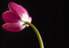 Тюльпан Fuschia Стоковое Изображение RF