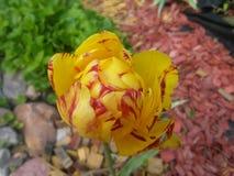 Тюльпан monsella Стоковое Изображение RF