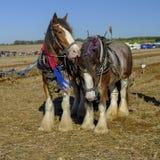 Тяжелые лошади паша конкуренцию на SCHHA - ассоциацию лошади южного побережья тяжелую - ежегодное шоу около Soberton 2018, Хемпши стоковое изображение rf