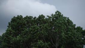 Тяжелый шторм лета снаружи перед дождем Сильный ветер дуя зеленые ветви дерева в грозе леса драматической снаружи видеоматериал