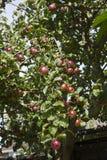 Тяжелая приносить красная яблоня Стоковое Изображение