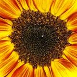 Тяжелое дыхание лета солнцецвета (annuus подсолнечника) орнаментальное Стоковое Изображение
