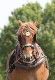 Тяжелый работая портрет лошади Стоковые Изображения