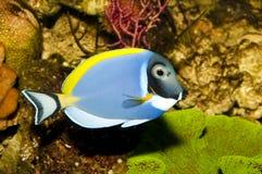 Тянь сини порошка в аквариуме Стоковая Фотография