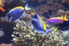 Тянь сини рыб коралла Стоковые Изображения RF