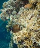 Тянь Sailfin - desjardinii zebrasoma Стоковые Изображения RF