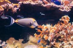 Тянь unicornfish или клоуна Barcheek или замаскированные unicornfish удят naso Стоковые Фотографии RF
