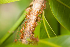 Тл-табунить муравьев Стоковое фото RF