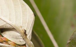 Тл-табунить муравьев Стоковая Фотография