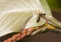 Тл-табунить муравьев Стоковая Фотография RF