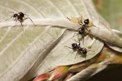 Тл-табунить муравьев Стоковые Изображения RF