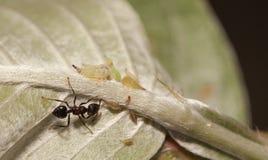 Тл-табунить муравьев Стоковые Фото
