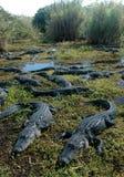 Убежище аллигатора стоковое фото