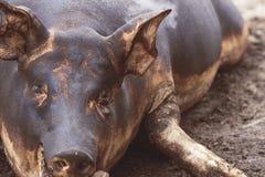Убийство свиньи Зарежьте fiering кожа свиньи для того чтобы извлечь волосы Стоковые Изображения RF