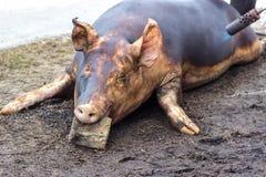 Убийство свиньи Зарежьте fiering кожа свиньи для того чтобы извлечь волосы Стоковые Фотографии RF