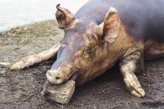 Убийство свиньи Зарежьте fiering кожа свиньи для того чтобы извлечь волосы Стоковые Изображения