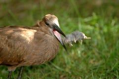 убийство hammerkop Стоковое Изображение