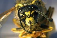 убийца пчелы Стоковая Фотография RF