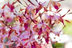 Уборная Memoria Dendrobium поет орхидею жевания Стоковая Фотография
