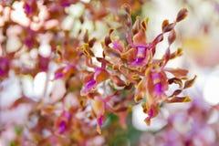 Уборная Memoria Dendrobium поет орхидею жевания Стоковое Изображение RF