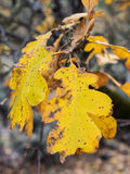 дуб листьев осени Стоковая Фотография RF