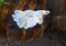 Увенчайте Бо-рыб кабеля, рыб боя CrownTail, пресноводной рыбы аквариума Стоковое фото RF
