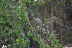 Увенчанная чернотой птица цапли ночи Стоковое Изображение RF