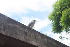Увенчанная чернотой птица цапли на крыше Стоковые Изображения RF