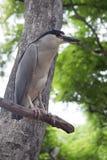 Увенчанная чернотой птица цапли Стоковое Фото