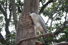 Увенчанная чернотой птица цапли Стоковая Фотография
