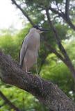 Увенчанная чернотой птица цапли Стоковые Фотографии RF