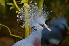 Увенчанный голубь, научное имя Goura Стоковая Фотография