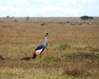 увенчанный краном серый masai mara Стоковые Изображения