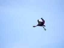 Увенчанный кран летая Стоковая Фотография RF